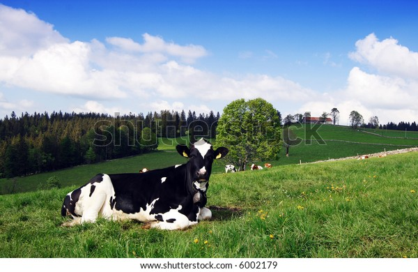 A spotted Cow grazing in the green field under blue sky