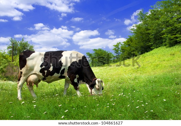 Spotted cow grazing on beautiful green meadow against a blue sky