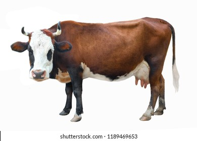spotted cow isolated on white background