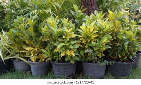 Spotted croton or Codiaeum variegatum Gold dust
