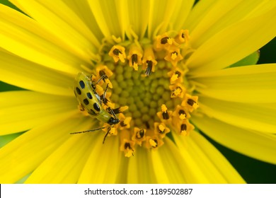 A Spotted Cucumber Beetle collects nectar from a yellow Cup Plant flower. High Park, Toronto, Ontario, Canada.
