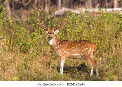 Spotted dear or chital in Knha National Park in India
