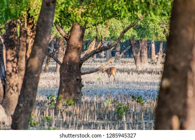 Spotted deer (Axis axis) in a mangrove forest in Sundarbans, Bangladesh