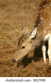 Spotted deer (Axis axis), Ranthambore National Park, Rajasthan, India