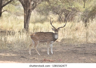 Spotted deer (Axis Axis) standing, Panna Tiger Reserve, Madhya Pradesh, India