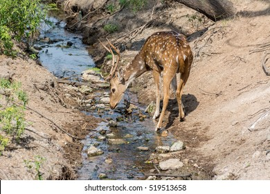 A spotted deer bucks with antler drinking water in the zoo