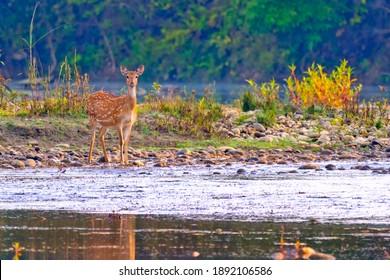 Spotted Deer  Cheetal  Axis Axis  Axis Deer at Royal Bardia National Park  Bardiya National Park  Nepal  Asia