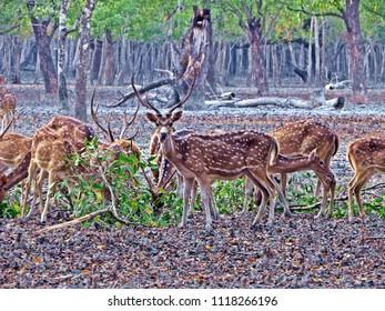 Spotted deer flock at Sundarbans, Bangladesh