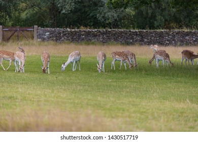 Spotted deer grazing on grass in Bradgate Park