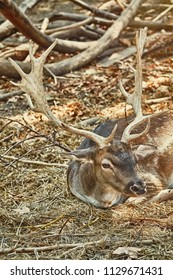 Spotted Deer with Horns Resting on the Ground