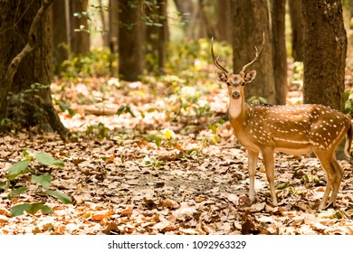spotted deer at jim Corbett national park
