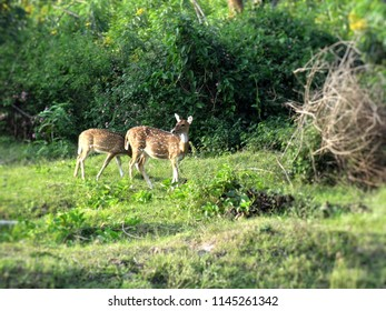 Spotted deer native to the indian subcontinent