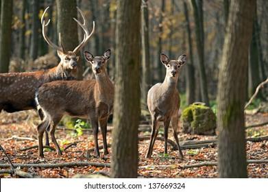 Spotted Deer in a natural habitat