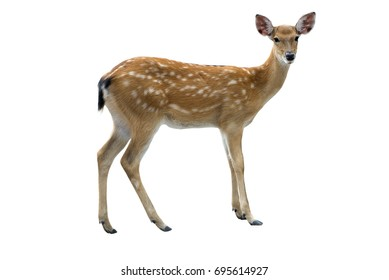 spotted deer on white background
