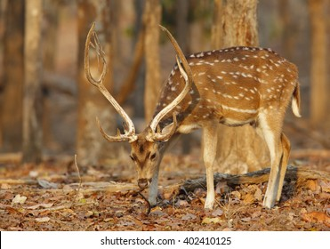 Spotted deer in Pench National Park