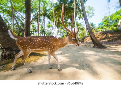Spotted deer at Ross island, Andaman and Nicobar