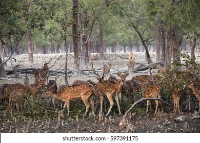 Spotted deer in the Sundarbans national park, famous for its Royal Bengal Tiger in Bangladesh