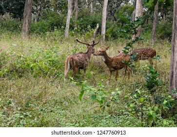Spotted deers at Bandipur forest in India