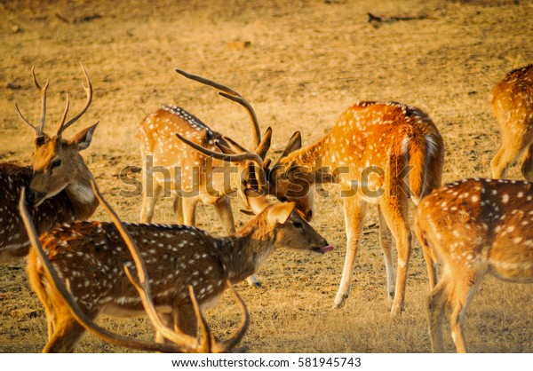 Spotted Deers fighting for the place