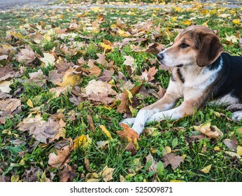 Spotted dog lying with crossed legs in the fallen leaves