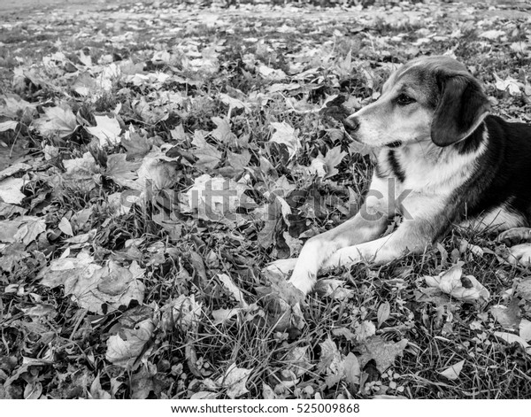 Spotted dog lying with crossed legs in the fallen leaves, black and white