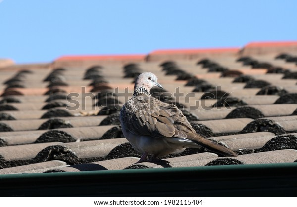 Spotted Dove on a roof