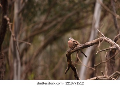 A Spotted Dove perched on a branch