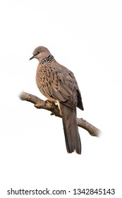 Spotted dove perching on a perch isolated on white background