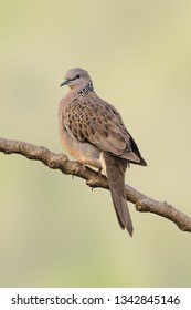Spotted dove perching on a perch isolated on pale green background
