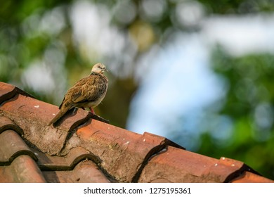 Spotted Dove - Spilopelia chinensis, common beautiful dove from Southeast Asian forests and gardens, Bali, Indonesia.
