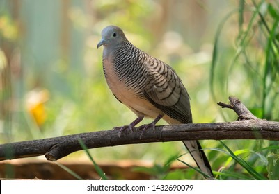 The spotted dove or (spilopelia chinensis) or mountain dove or pearl-necked dove or lace-necked dove or spotted turtle-dove.