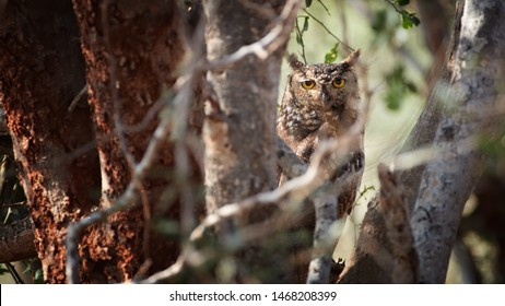 Spotted eagle owl or African eagle owl, Bubo africanus, resting during day in dense tree. Birds of Kenya. Wildlife photography in Tsavo west national park. Kenya.