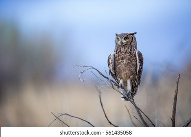 Spotted Eagle Owl sitting perched on a tree branch as it is getting dark after sunset. As they are nocturnal it's probably getting ready to hunt.