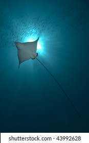 Spotted eagle ray (aetobatis narinari). Below backlit view of juvenile. Red Sea, Egypt.
