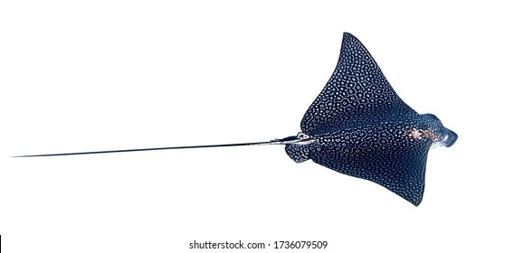 Spotted Eagle Ray (Aetobatus narinari) Isolated On A White Background. Close Up Of Dangerous Underwater Leopard Stingray Soaring In Red Sea, Egypt. Indo-Pacific Coral Fish, Cut Out.