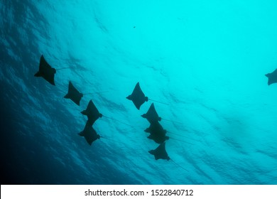 Spotted Eagle Ray encounter close