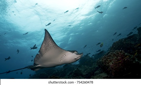 Spotted Eagle Ray in Galapagos, the Pinnacle of Diving