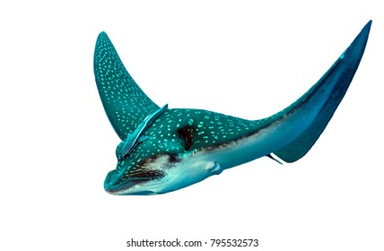 Spotted Eagle Ray isolated in white background