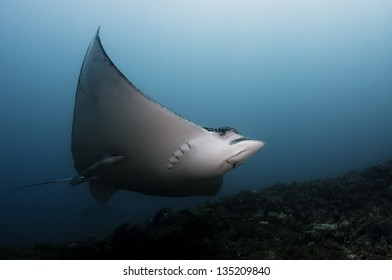 spotted eagle ray swimming in deep water in the Caribbean.