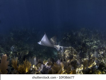 A spotted eagle ray swimming over a coral reef with a blue water background and sun beams shining through the water in Key Largo, Florida