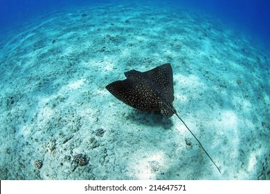 A spotted eagle ray swims along the bottom of the ocean in Hawaii.