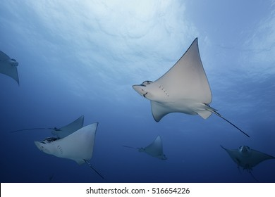Spotted eagle rays in the waters outside of Cancun, Mexico during the eagle ray migration period in winter.