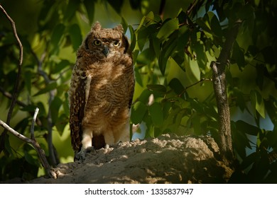 Spotted eagle-owl, Bubo africanus, are African owl in the nature habitat in  Etocha NP, Namibia, Africa. Night bird with tree forest habitat. Birdwatching in South Africa.