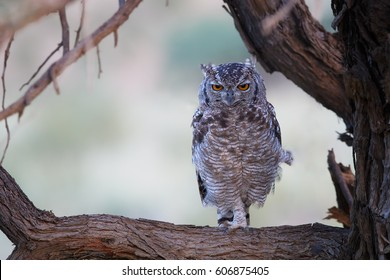 Spotted eagle-owl, Bubo africanus, perched on branch, staring directly at camera by yellow eyes. Wild owl in colorful dusk, wildlife photography in Kalahari desert, South Africa.