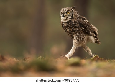 Spotted eagle-owl funny running