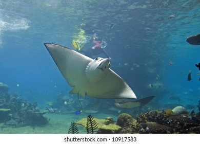 Spotted Eagle-rays (Aetobatus narinari) swimming over coral reef, with diver in the background.