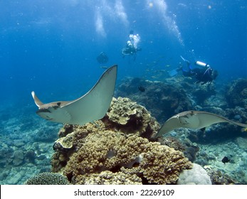 Spotted Eagle-rays (Aetobatus narinari) swimming over coral reef, scuba divers in background