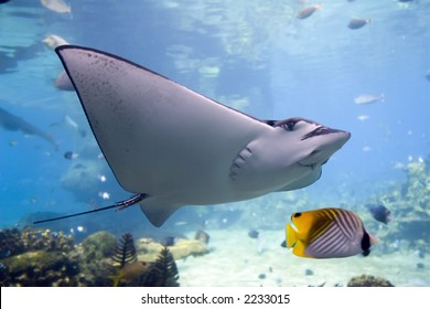 Spotted Eagle-rays (Aetobatus narinari) swimming over coral reef,Lined Butterflyfish.