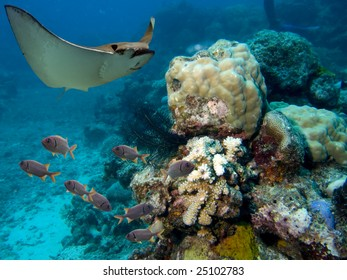 Spotted Eagle-rays (Aetobatus narinari) swimming over coral reef, fish in background