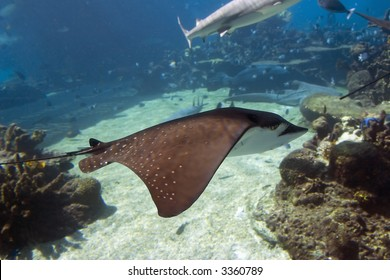 Spotted Eagle-rays (Aetobatus narinari) swimming side on, over coral reef.